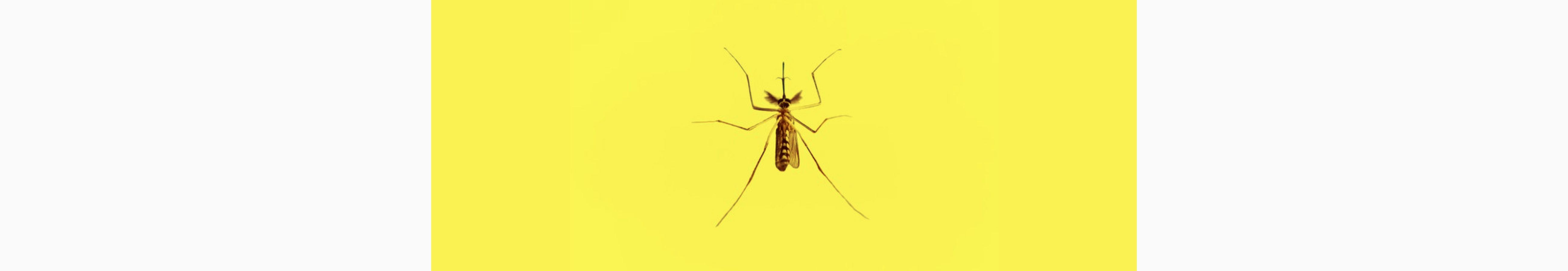 Picture of a mosquito